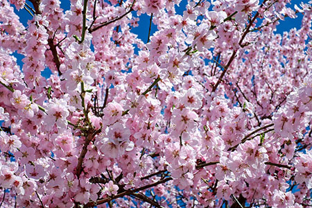 japanese cherry trees 2168858 450 300